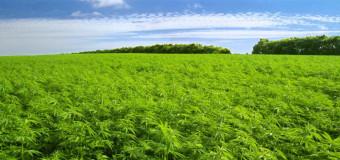 La canapa può ripulire i terreni inquinati da metalli pesanti: via alla sperimentazione in Puglia